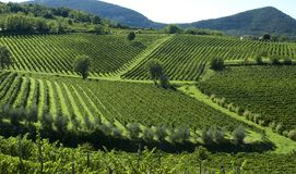 Italian Vineyards 6 Royalty Free Stock Photos