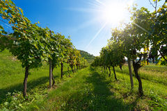 Italian Vineyards with Sun Rays Stock Photos