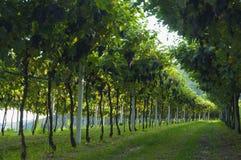 Italian vineyards in Valpolicella Area from basement, Veneto, Verona, Italy. Valpolicella Vineyards in Verona, Veneto, Italy royalty free stock photography