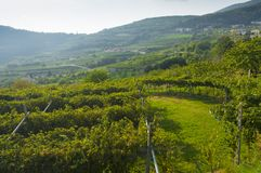 Italian vineyards in Valpolicella Area, Veneto, Verona, Italy royalty free stock photos