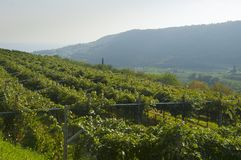 Italian vineyards in Valpolicella Area, Veneto, Verona, Italy stock images