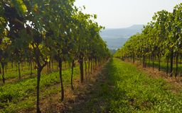 Italian vineyards in Valpolicella Area, Veneto, Verona, Italy royalty free stock photo