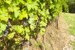 Italian vineyards in Valpolicella Area, Veneto, Verona, Italy stock photography