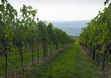 Italian vineyards in Valpolicella Area, Veneto, Verona, Italy. Valpolicella Vineyards in Verona, Veneto, Italy stock photography