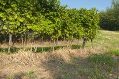 Italian vineyards in Valpolicella Area, Veneto, Verona, Italy. Valpolicella Vineyards in Verona, Veneto, Italy royalty free stock photography