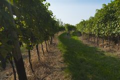 Italian vineyards in Valpolicella Area, Veneto, Verona, Italy stock photo