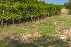 Italian vineyards in Valpolicella Area, Veneto, Verona, Italy royalty free stock photography