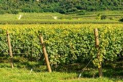 Italian Vineyards of the Valpolicella Wine near Verona. Typical Italian red grape vineyards of the Valpolicella Wine at the base of the hill near Verona, Italy stock photography