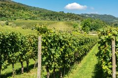 Italian Vineyards of the Valpolicella Wine near Verona. Typical Italian red grape vineyards of the Valpolicella Wine at the base of the hill near Verona, Veneto stock image