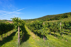 Italian Vineyards - Valpolicella Wine. Typical Italian red grape vineyards at the base of the hill with blue sky royalty free stock photo