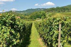 Italian Vineyards of the Valpolicella Wine - Verona. Typical Italian red grape vineyards of the Valpolicella Wine at the base of the hill near Verona, Italy royalty free stock image