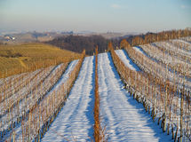 Italian vineyards in winter. Overview of a dry vineyard with snow in Italy Royalty Free Stock Images