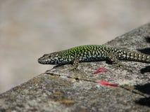 Italian Wall Lizard Royalty Free Stock Photography