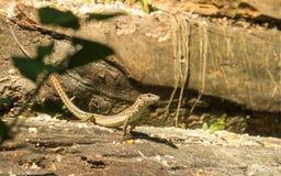 Italian Wall Lizard basking on logs. An Italian Wall Lizard, Podarcis sicula, basking on a pile of fallen logs in an Italian forest Stock Images