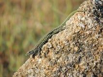 Italian Wall Lizard Stock Photo
