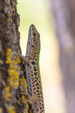 Italian Wall Lizard (Podarci siculus) Climbing a tree Stock Photography
