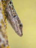 Italian Wall Lizard (Podarci siculus) Looking down from a tree Royalty Free Stock Photography