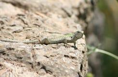 Italian wall lizard Royalty Free Stock Image