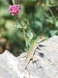 Italian wall lizard Stock Image