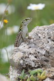 Italian wall lizard on a rock Royalty Free Stock Images