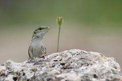 Italian wall lizard on a rock Stock Photos