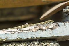 Italian Wall Lizard Stock Photography