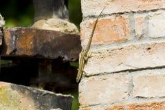 Italian Wall Lizard Stock Photos