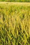Italian wheat field background Tuscany - Italy Royalty Free Stock Photos