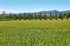 Italian wheat fields Royalty Free Stock Photo