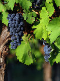 Italian Wine Grapes Stock Photo