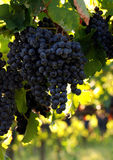 Italian wine grapes. Close up of an italian wine grapes Royalty Free Stock Photography