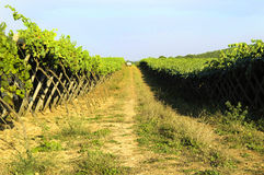 Italian wine Puglia vineyard Royalty Free Stock Photo