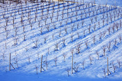 Italian wineyard. Italian Lambrusco's wineyard near Castelvetro, Modena royalty free stock photography