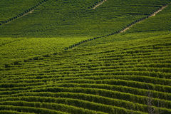 Italian wineyards. A view of wineyards in Barolo - Piedmont, Italy Stock Photo