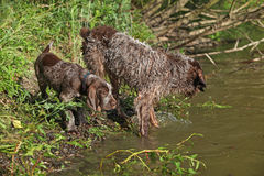 Italian Wire-haired Pointing Dog puppy with its mother Stock Images