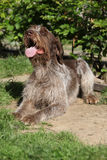 Italian Wire-haired Pointing Dog resting in the garden Royalty Free Stock Images
