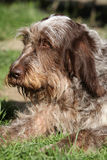 Italian Wire-haired Pointing Dog resting in the garden Royalty Free Stock Photography