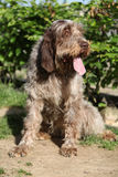 Italian Wire-haired Pointing Dog sitting in the garden