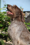 Italian Wire-haired Pointing Dog sitting in the garden Royalty Free Stock Photography
