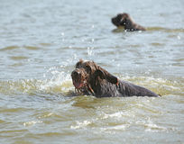 Italian Wire-haired Pointing Dog in the water Stock Photo