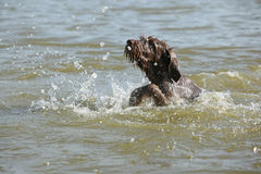 Italian Wire-haired Pointing Dog in the water Royalty Free Stock Image