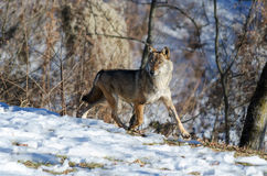 Italian wolf canis lupus italicus Royalty Free Stock Photography