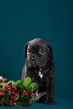 Italiano Cane Corso da raça do cachorrinho Fotos de Stock Royalty Free