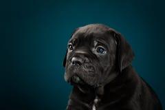 Italiano Cane Corso da raça do cachorrinho Imagens de Stock Royalty Free