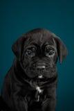 Italiano Cane Corso da raça do cachorrinho Imagem de Stock Royalty Free