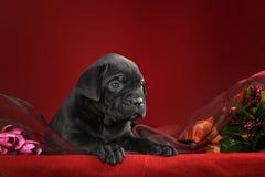 Italiano Cane Corso da raça do cachorrinho Fotografia de Stock Royalty Free