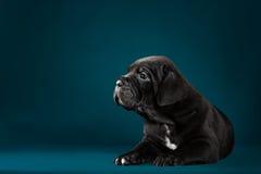 Italiano Cane Corso de la raza del perrito Fotografía de archivo libre de regalías