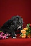 Italiano Cane Corso de la raza del perrito Foto de archivo libre de regalías