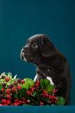 Italiano Cane Corso de la raza del perrito Foto de archivo