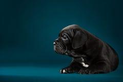Italiano Cane Corso de la raza del perrito Fotos de archivo